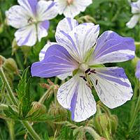 Storchschnabel Geranium pratense Bicolor Sommerblüher